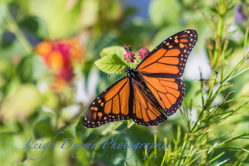 WB_Butterflies-2958
