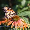 WB_Butterflies-3066