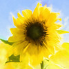 Sunflower_TI-2