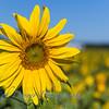 Sunflowers-2897