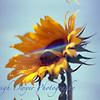Joey_Sunflower-35017 copy copy