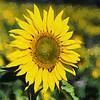 Sunflower_TI-3