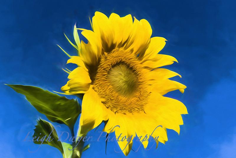 Sunflower_TI
