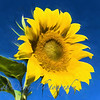 Sunflower_TI