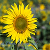 Sunflowers-2904