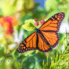 Butterfly_TI