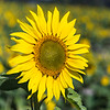 Sunflowers-2905