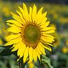 Sunflowers-2905