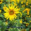 Sunflower_grunge-2