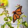 WB_Butterflies-2965