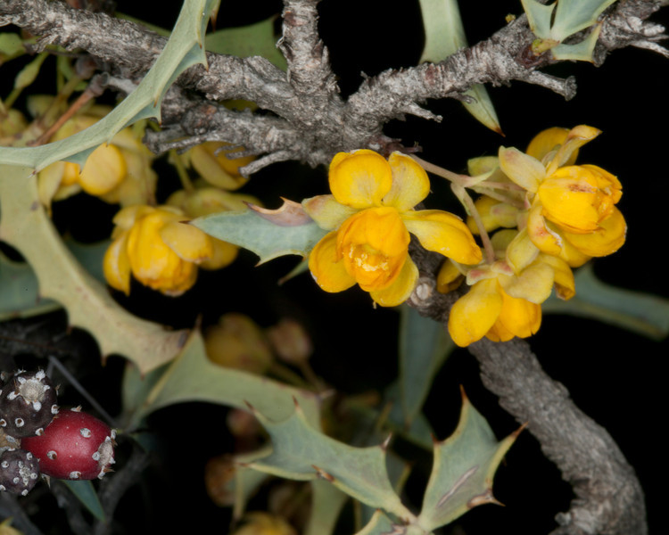 Red Barberry (Mahonia haematocarpa) along nature trail at Verde Valley Thousand Trails campground near Cottonwood, AZ. April 1, 2012.