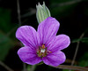 Small purple flower found in desert above Cottonwood, AZ. April 2, 2012.
