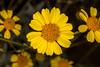 Desert Gold Sunflower near Yuma, AZ