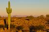 Saguaro Cactus at sunrise, near Yuma, AZ