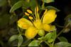 Creosote Blossom, Yuma, AZ