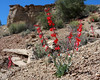 Skyrockets, or Scarlet Gilia (not a real Gilia) found in Escalante Natl Monument, Paria River Valley, Utah, in a very dry sandy location. This place gets real hot in the summer. April 13, 2008.