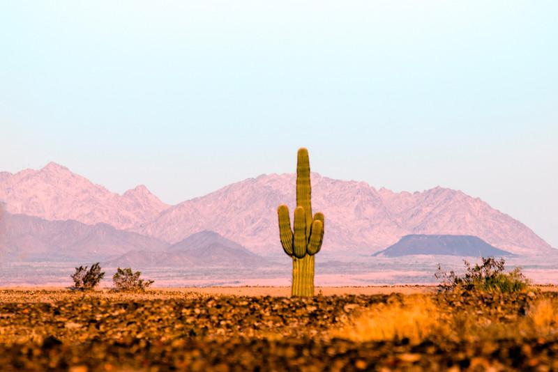 Saguaro Cactus, Yuma, AZ