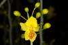 Palo Verde Tree Bloom in March (Yuma, AZ)