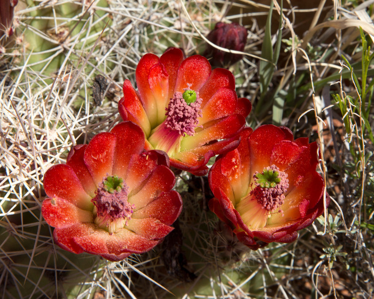 Claret Cup (Echinocereus triglochidiatus) in Pugh Canyon, near Kanab, Utah. April 19, 2013