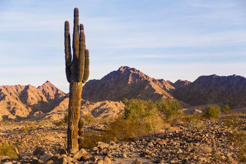 Saguaro Cactus in Yuma, AZ