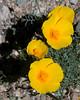 Mexican Poppies at Pipe Organ Cactus National Monument. Arizona. Feb 27, 2009