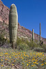 Large cactus and mexican poppies at Pipe Organ Cactus National Monument, near Why, Arizona. Feb 26, 2009
