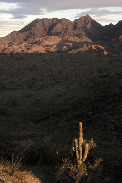 Saguaro Cactus in wash with North Gila Mountains near Yuma, Arizona in background. Feb 2010.