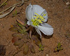 This Dune Evening Primrose (Oenothera deltoides)is at home in sandy environments. Notice the large yellow stamens.