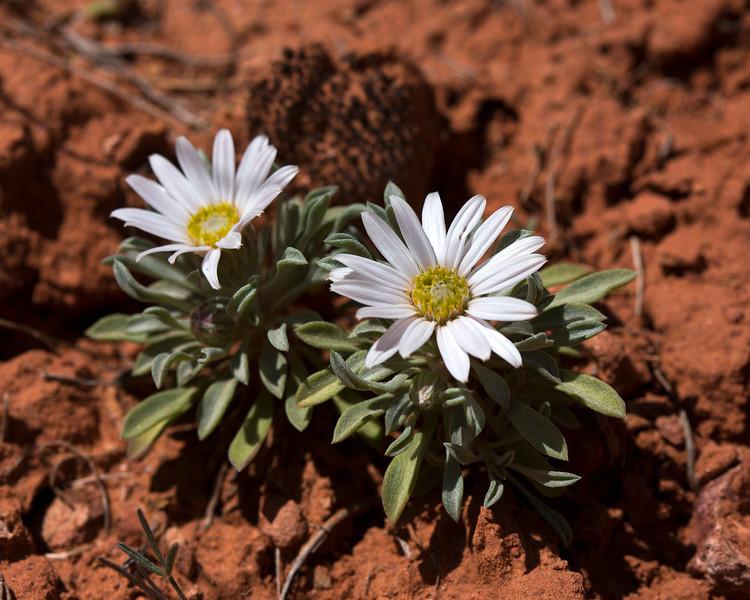 Utah Daisy in Pugh Canyon, near Kanab, Utah. April 2013