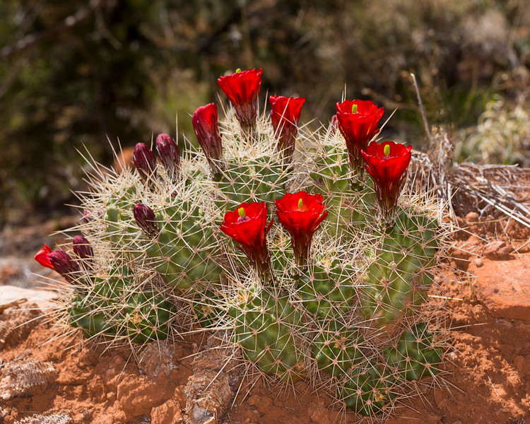Claret Cup Cactus (Echinocereus triglochidiatus) is a species of hedgehog cactus known by several common names, including Kingcup cactus, Claretcup, and Mojave mound cactus. Found in Pugh Canyon near Kanab, Utah. April 3013