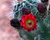 Claret Cup Cactus in Zion National Park. April 2008