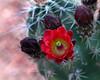 Claret Cup Cactus in Zion National Park. April 2008