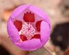 Desert Five Spot Wildflower in Death Valley, CA, March 2008