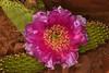Plains Pricklypear (opuntia macrorhiza engelm) cactus blooming in Zion National Park, Utah. April 28, 2013