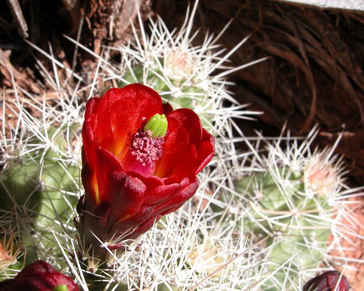 Claret Cup, Echinocereus triglochidiatus, Kanab, Utah
