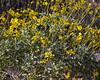 Bush overview of Desert Gold sunflower. Yuma Arizona. March 2012