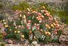 Prickly Pear Cactus, Big Bend Nat'l Park