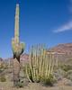 Saguaro Cactus on the left and the Pipe Organ Cactus on the right in Organ Pipe Cactus National Monument. Arizona. Feb 27, 2009