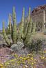 Pipe Organ Cactus and Mexican Poppies at Pipe Organ Cactus National Monument, Arizona. Feb 26, 2009