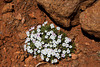 Desert Phlox in Pugh Canyon, near Kanab Utah. April 19, 2013