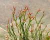 Ocotillo Plant in bloom.