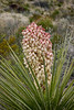 Yucca Plant blooming in Big Bend Nat'l Park