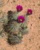 Cactus blooming near Toroweap Overlook of the Grand Canyon, northern Arizona, late April 2008.