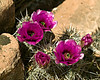 Cactus at Toroweap Overlook of Grand Canyon (6500 feet), in Northern Arizona. April 2008