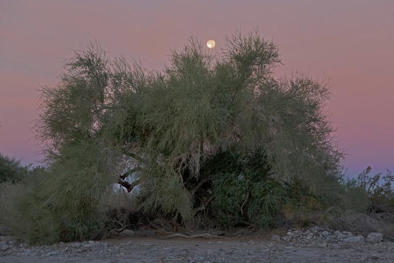 Moon and Ironwood Tree, Yuma, AZ