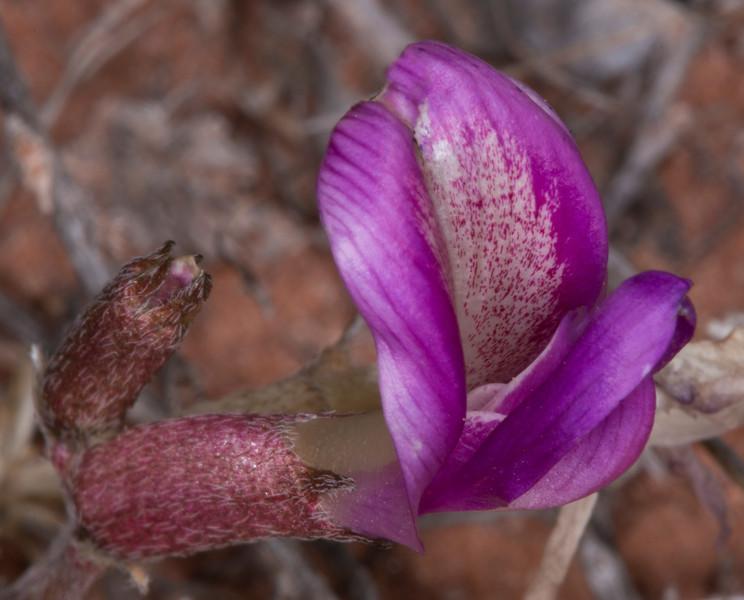 Utah Sweetpea (Hedysarum boreale)  in Pugh Canyon near Kanab, Utah. April 2013