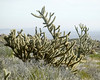 Cholla plant in Joshua National Park.