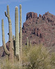 Montezumas Head and the Saguaro Cactus at Pipe Organ Cactus National Monument. Arizona. Feb 27, 2009
