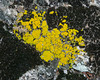 Yellow Lichen and Green Moss on quartz rock near Silent Valley RV Club in San Jacinto Mountains. Feb 2010