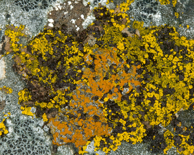 Multiple colors of Lichen growing on rock in Sagebrush near Henry's Lake, Idaho. June 10, 2009